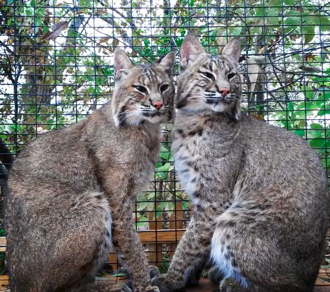 bobcats sitting together in their enclosure