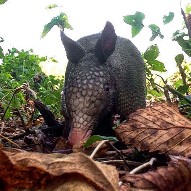 An armadillo crawling through the foliage
